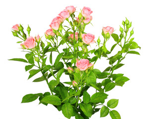 Bouquet of pink roses with green leafes