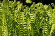 young fern leaf. nature background