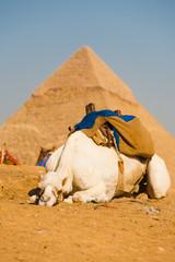 Sad White Camel Pyramid Giza Cairo