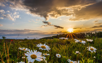 Oxe eye daisies at dawn