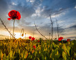 Wild Poppies And Sunrise