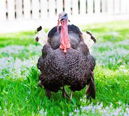 turkey cock