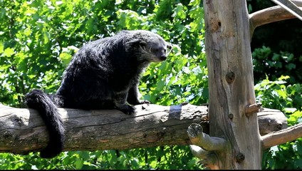 binturong perché sur un arbre mort
