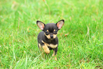 Chihuahua dog puppy