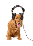 cocker spaniel  in headphones