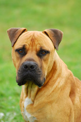 Boerboel dog head portrait