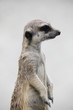 Suricate in its natural environment - outdoor scene