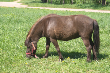 Brown small pony in harness eating grass outdoor