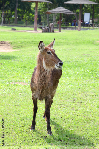 Waterbuck are standing and relax