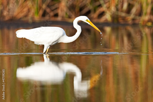 Great Egret, Ardea Alba, fishing