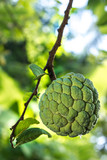Sugar apple with tree