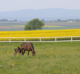 Stute mit Fohlen vor Rapsfeld
