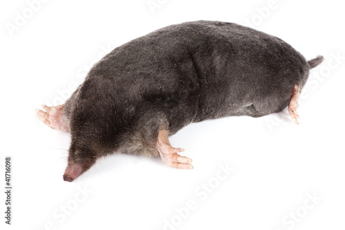 The European mole on a white background, separately