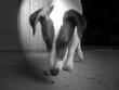 Jack Russel Terrier beim Aufsammeln von Futter