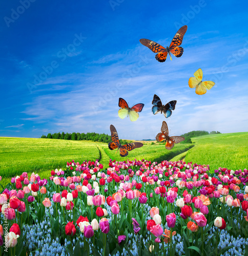 Obraz Field of colorful flowers and a butterfly group