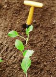 Row of transplanted seedlings poster
