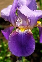 Фиолетовый Ирис.