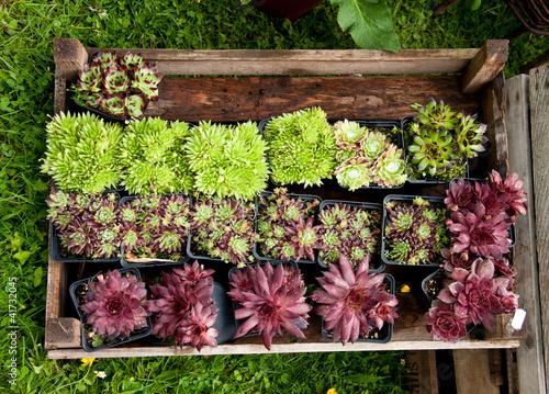 sukkulenten steingartenpflanzen stockfotos und. Black Bedroom Furniture Sets. Home Design Ideas