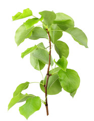 Young sprout of apple-tree with green leaf