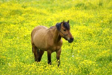 Pferd auf einer blühenden Wiese