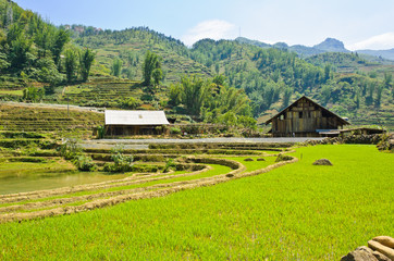 Green rice field against mountain background in Vietnam