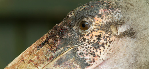 Extreme close-up of an marabu