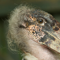 Extreme close-up of an marabu