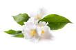Fototapeten,blume,floral,jasmine,weiß