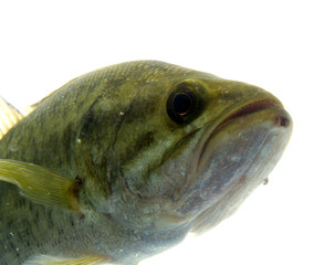 Largemouth bass in the water