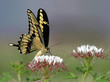 Giant Swallowtail on wildflowers