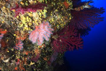 corallo rosso gorgonia mediterraneo