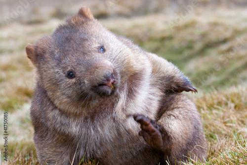 Fotobehang Koala wombat