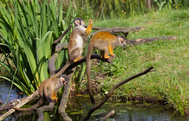 Common squirrel monkey s