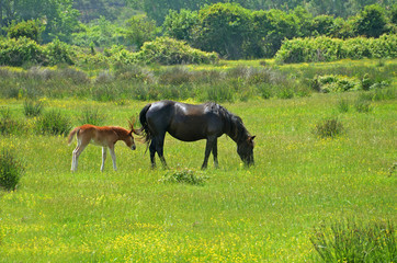 black female horse with colt pasturing in flowery meadow