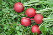 Five red radishes on the grass