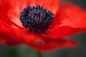 Poppy Macro © Altin Osmanaj