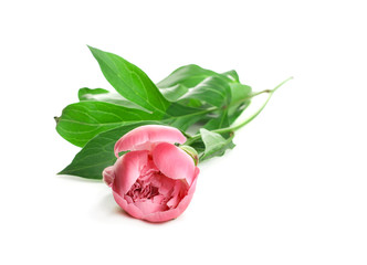 Pink Peony on white background