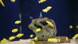 "Labidochromis ""Yellow"""
