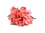 One Pink Peony  with leafs on white background