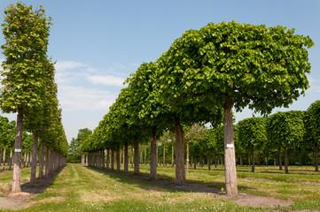 Platanen und Linden in einer Baumschule