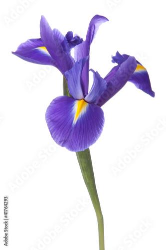 Fotobehang Iris Blue iris or blueflag flower