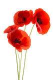 Fototapety Coquelicots