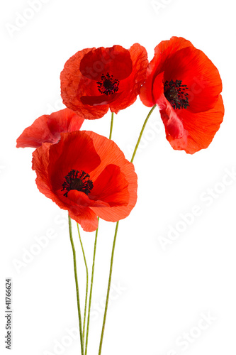 Foto op Canvas Poppy Coquelicots