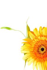flor sobre blanco, gerbera