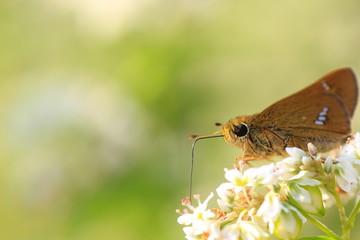 ソバの花の蜜を吸う蝶  butterfly