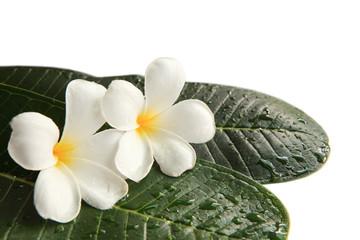 white frangipani flowers on green leaves