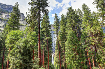 waterfall and pine in Yosemite Park