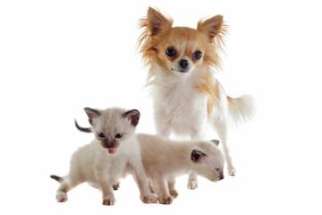 chihuahua et chatons siamois