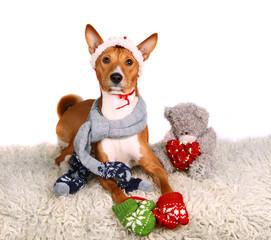 Basenji-dog on the white background