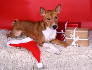 Basenji-dog on the red background